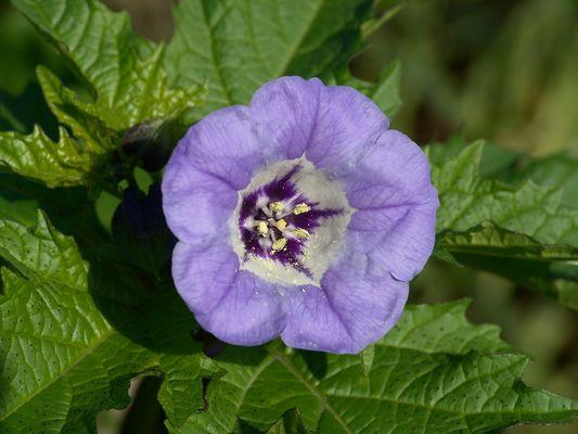Giftbeere - Blüte