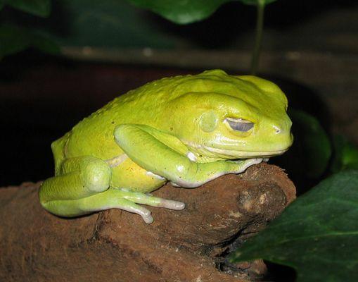 Giftgrüner Giftfrosch