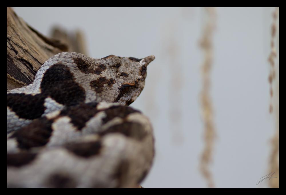Giftschlange (Hornviper ?)