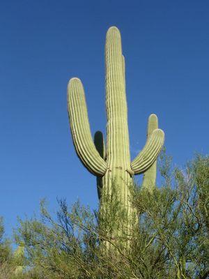 Gigantischer Saguaro Kakteen