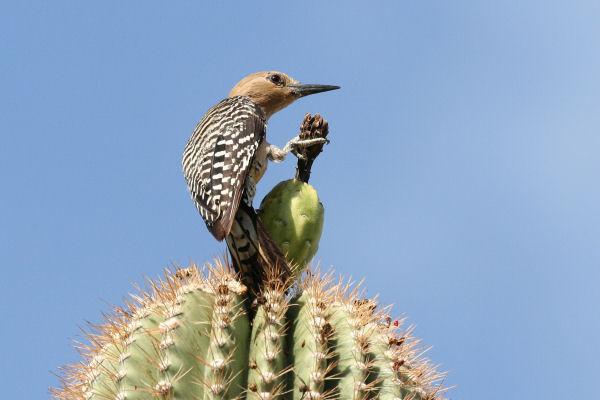 Gilaspecht auf einem Saguaro