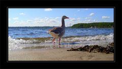 Ginger am Strand