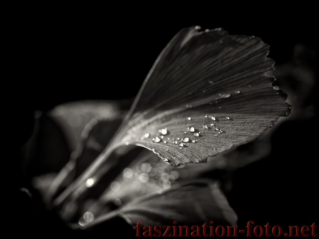 Gingko im Regen