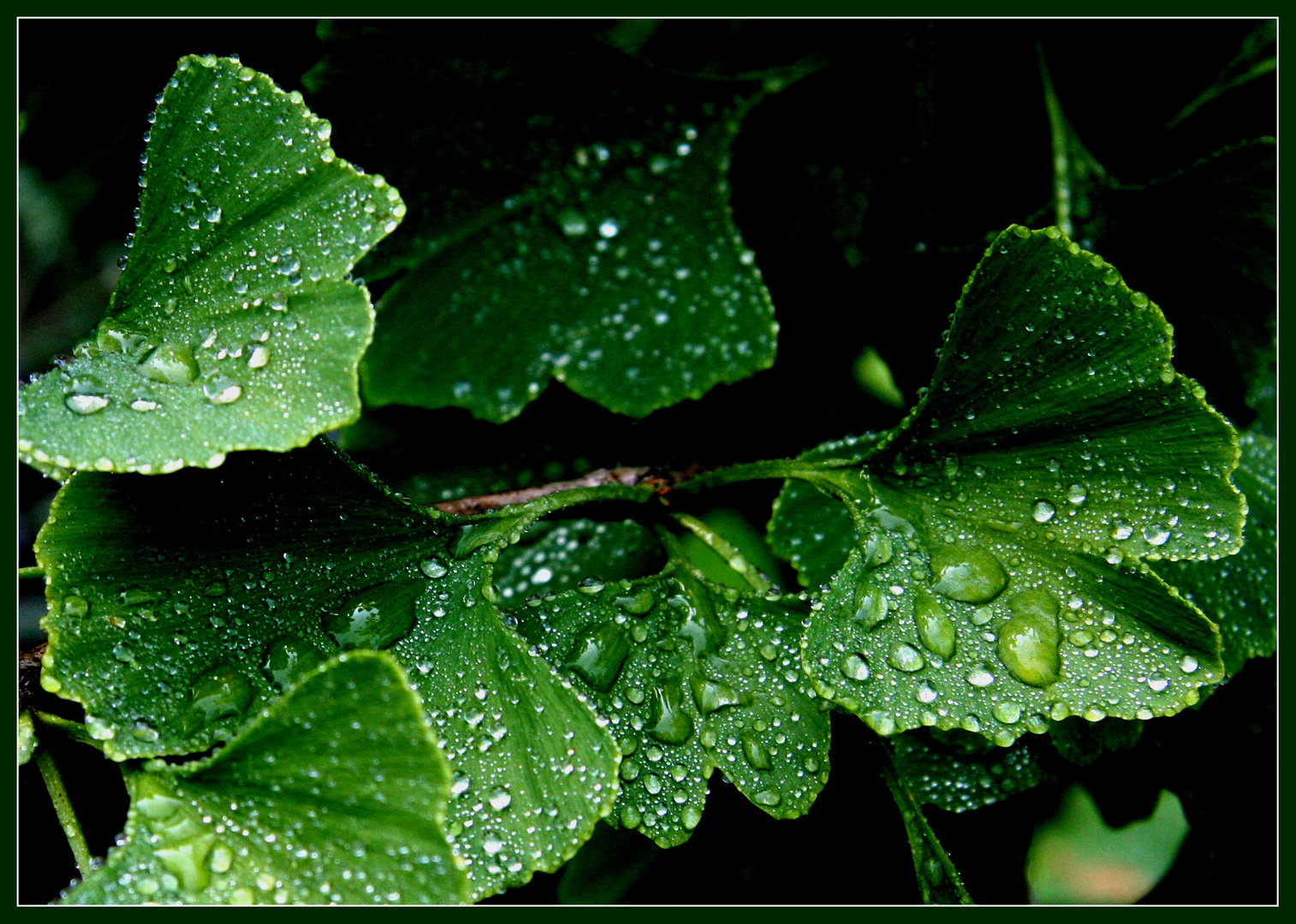 Gingko nach einem Regen ...