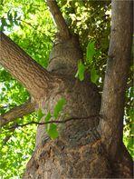 Ginkgobaum (Ginkgo biloba)
