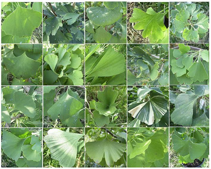 Ginkgoblättervariationen