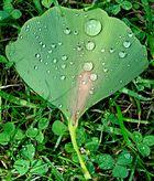 Ginkoblatt nach einem Regen