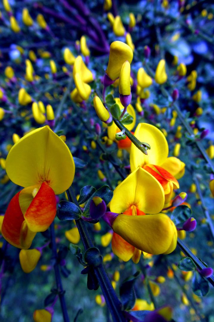 Ginster, Gelb und Blau