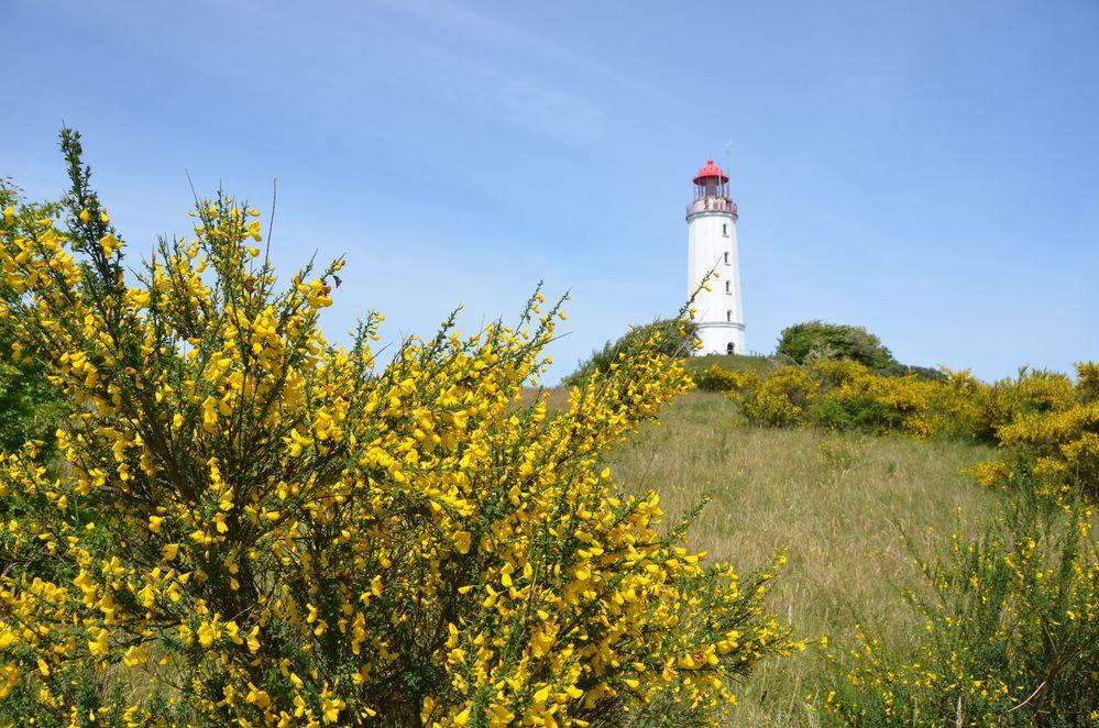 Ginster  Juni Hiddensee Leuchtturm Dornbusch