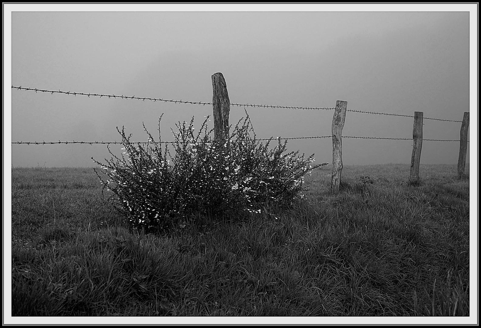 Ginster vor der Nebelwand