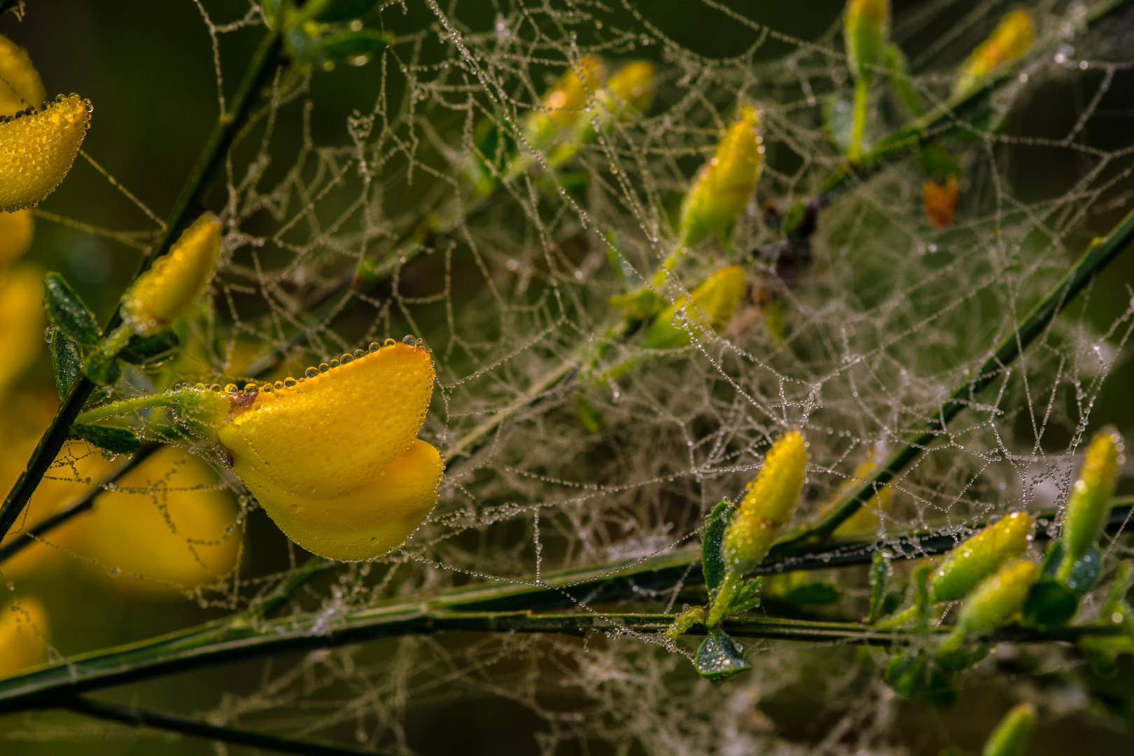 Ginsterblüte in der Wahner Heide