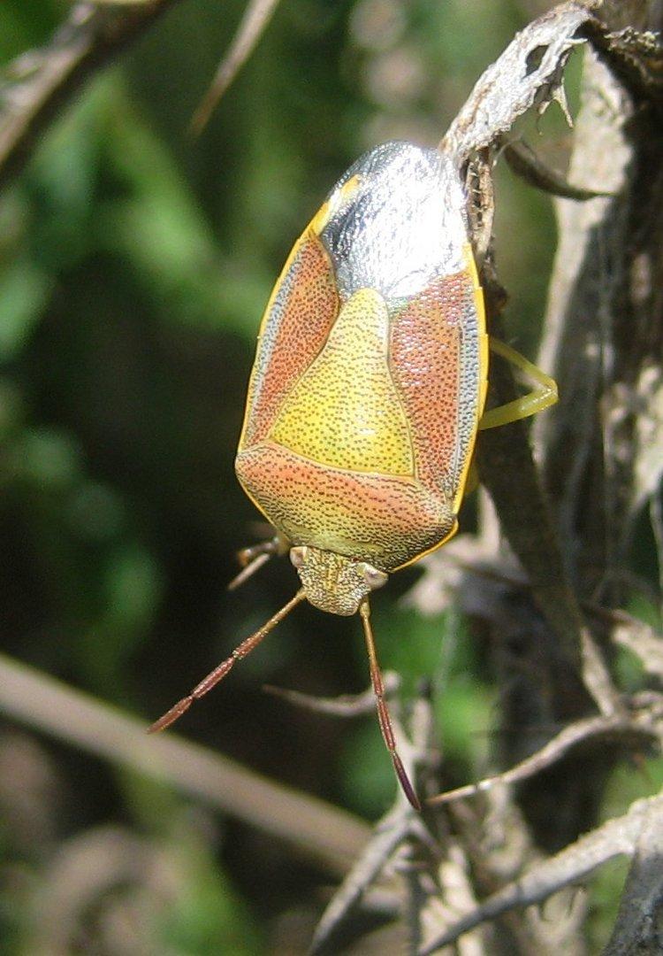 Ginsterwanze (Piezodorus lituratus) Bestimmt von F. Marquard
