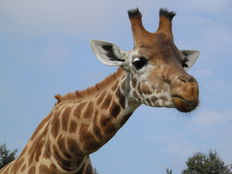 Girafe .