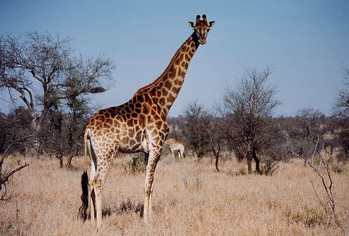 Girafe d'Afrique Australe, Kruger National Park, Afrique du Sud