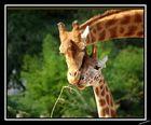 girafe et petit