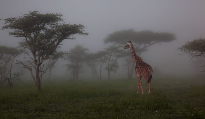 girafes in the mist ,tanzania