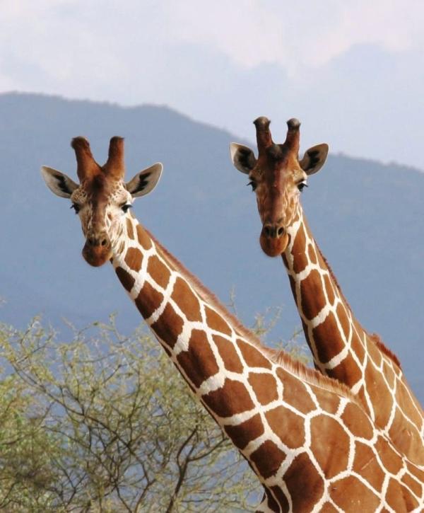 Girafes réticulées (Reticulated giraffes) - Samburu / Kenya - Curieuses !