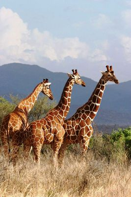 Girafes réticulées (Reticulated giraffes) - Samburu / Kenya - On va à l'école !