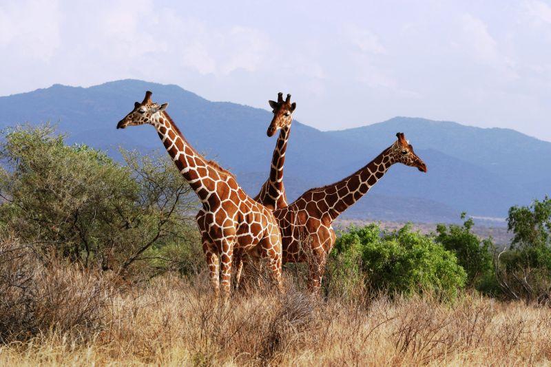 Girafes réticulées (Reticulated giraffes) - Samburu / Kenya - Pendule !