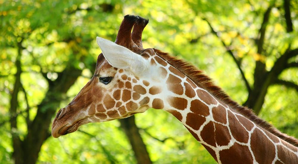 ~ Giraffe ~