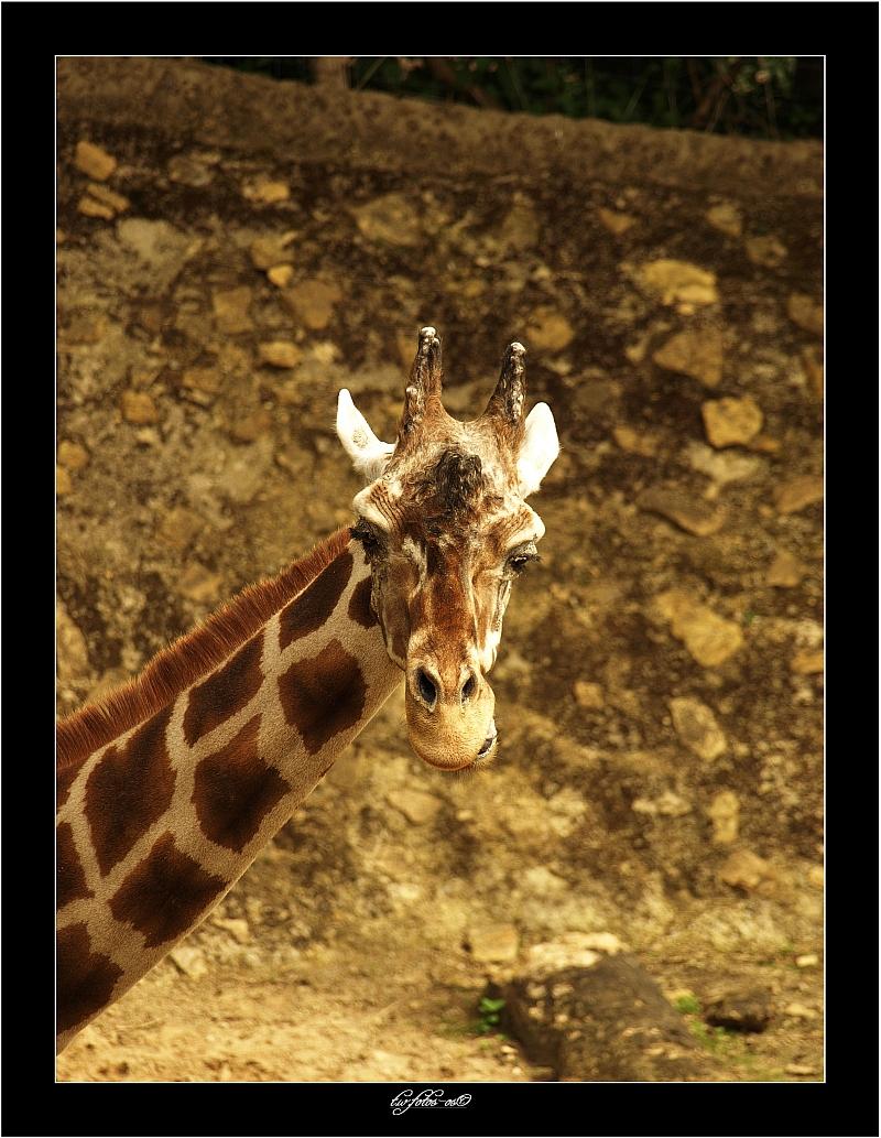 -Giraffe-