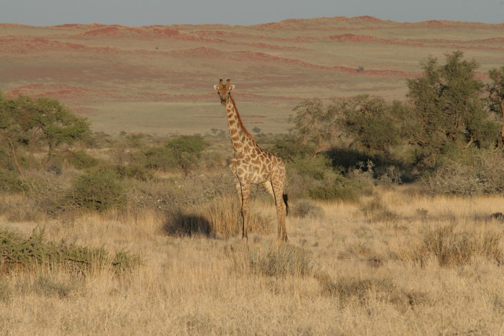 Giraffe am Rande der Namibwueste