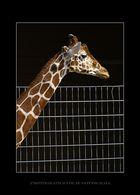 Giraffe am Zaun