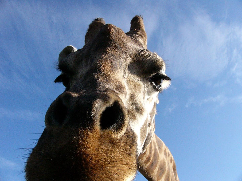 Giraffe aus dem Auto heraus