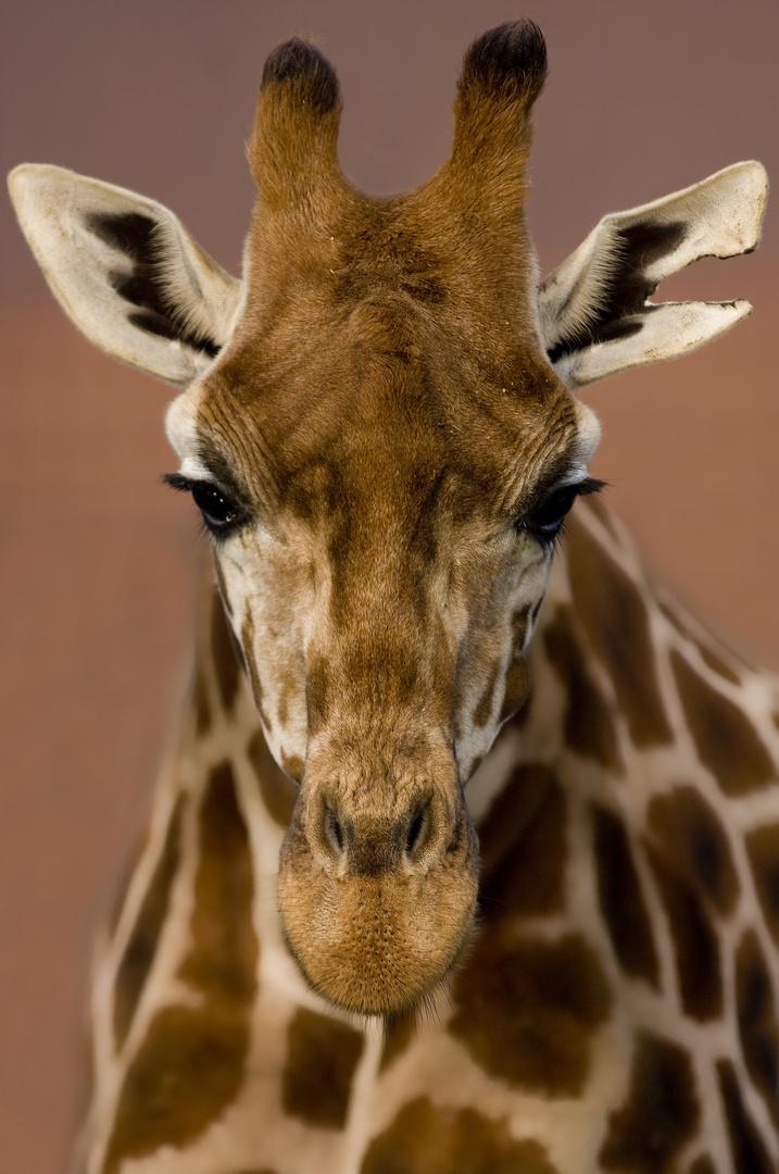 Giraffe aus dem Tierpark Berlin