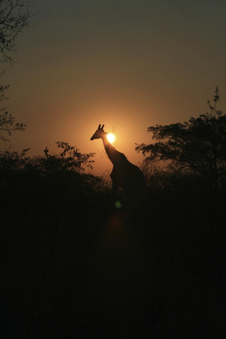 Giraffe beim Sonnenuntergang