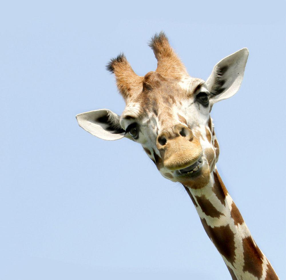 giraffe bitte l cheln foto bild tiere zoo wildpark falknerei bilder emotionen. Black Bedroom Furniture Sets. Home Design Ideas