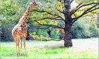 giraffe entlaufen bei mir um die ecke ...