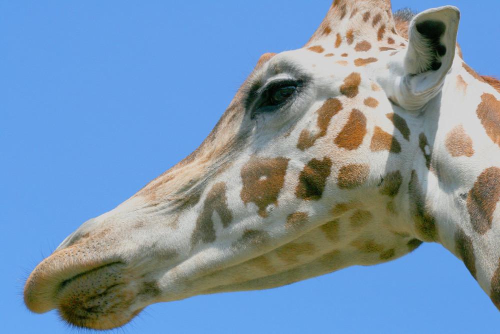 Giraffe gaaaanz nah