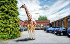giraffe gesichtet in mönchengladbach ...