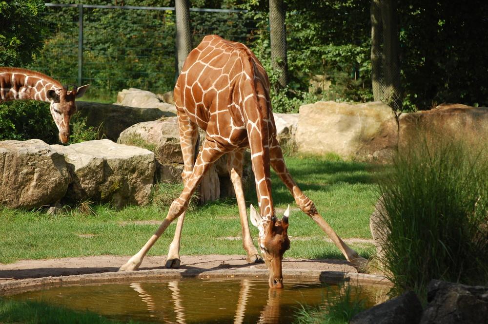 Giraffe hat Durst