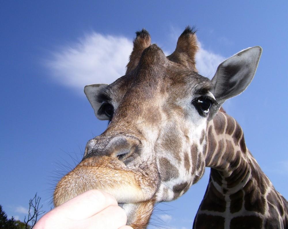 Giraffe im Auto