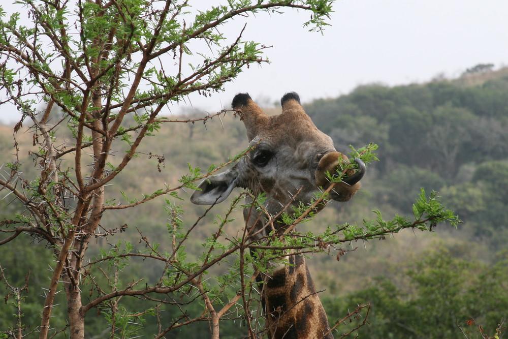 Giraffe im Hluhluwe Park