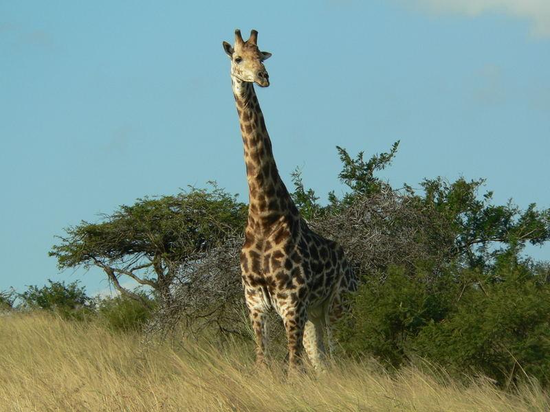 Giraffe im Hluhluwe-Umfolozi NP, Südafrika, 2005