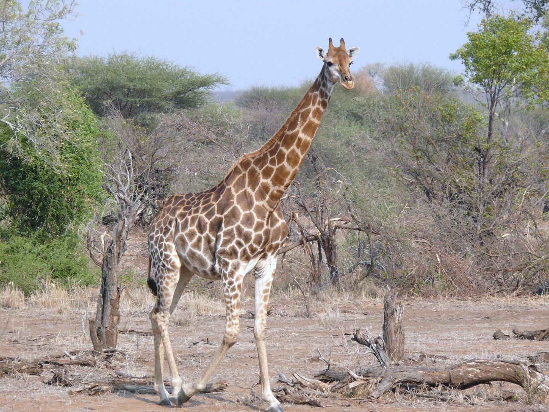 Giraffe im Krügerpark