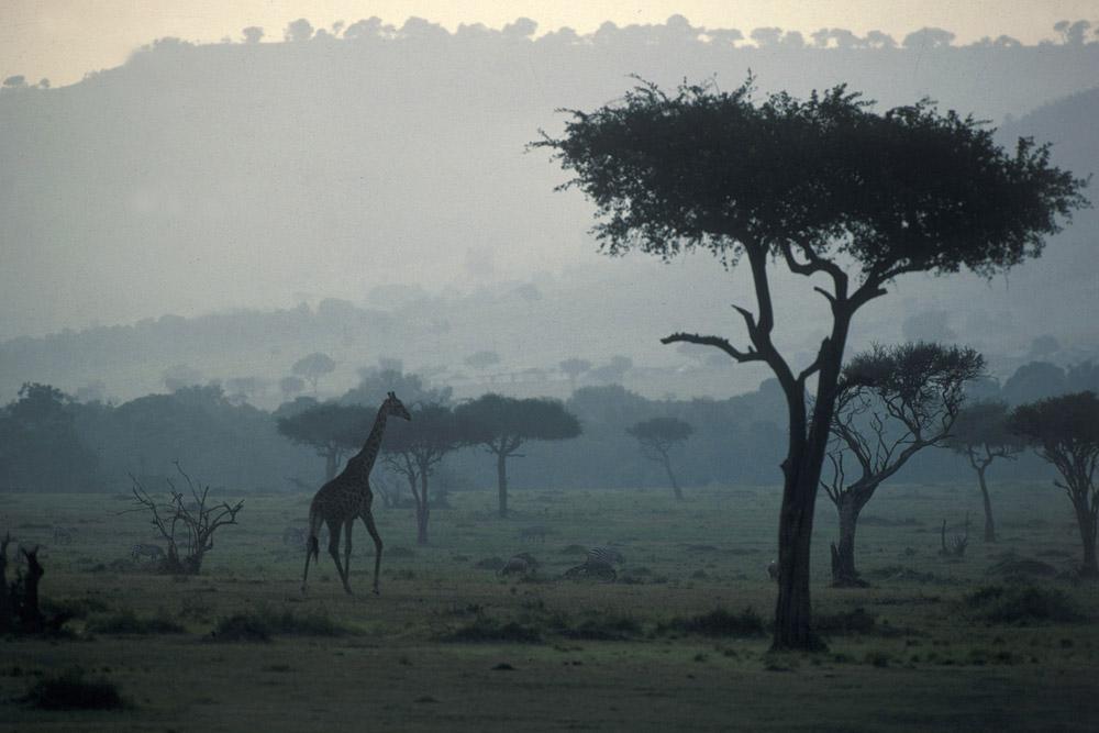 Giraffe im Masai Mara/Kenya