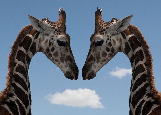 Giraffe im Spiegel