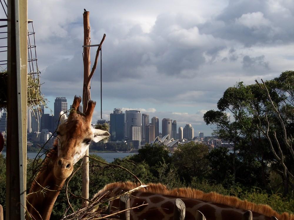 Giraffe im Sydney Zoo
