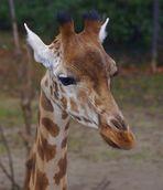 Giraffe im Zoo Basel