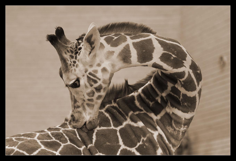 Giraffe im Zoo Berlin
