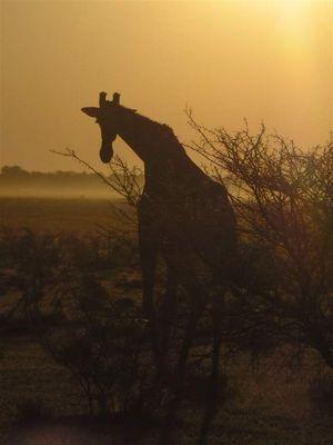 Giraffe in der Abenddämmerung
