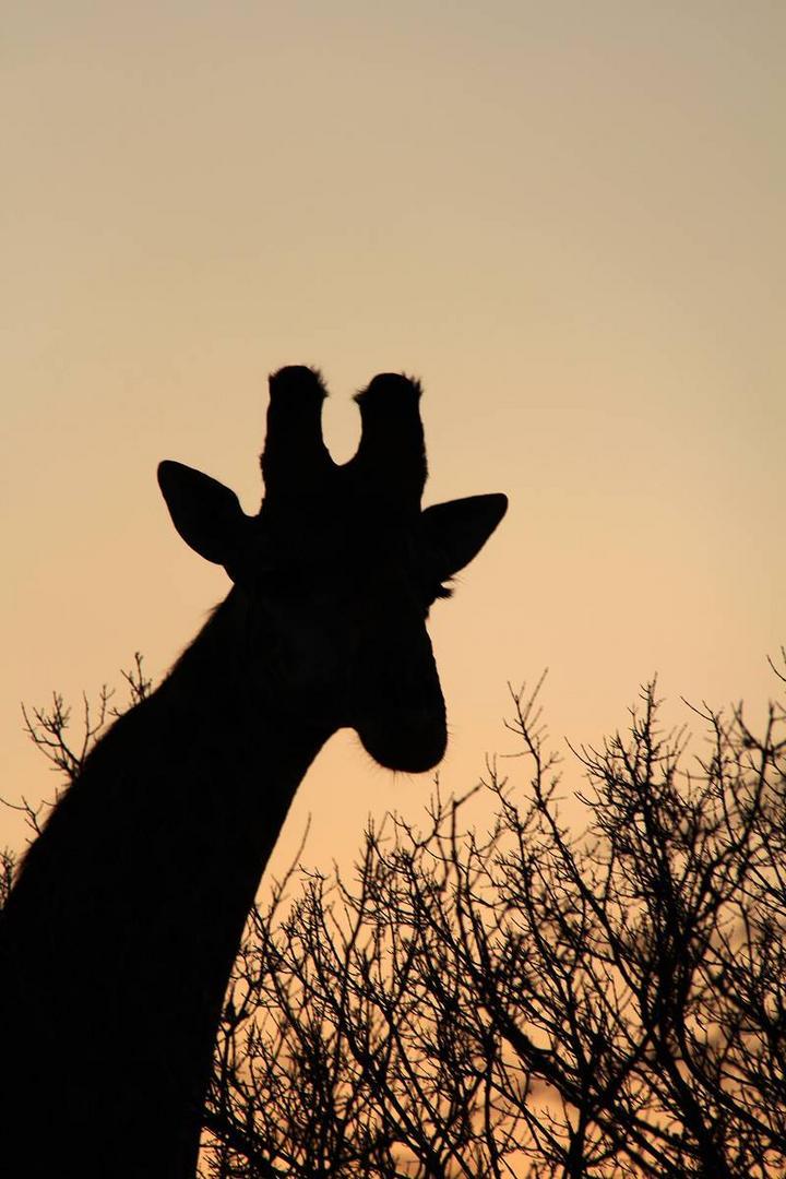 Giraffe in der Dämmerung