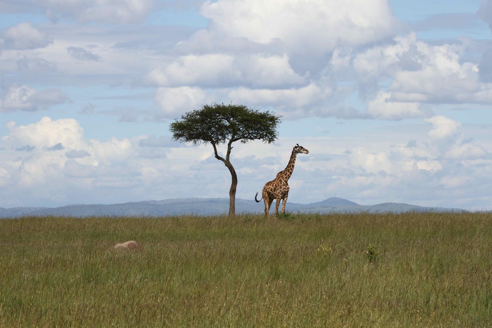 Giraffe in der Masai Mara