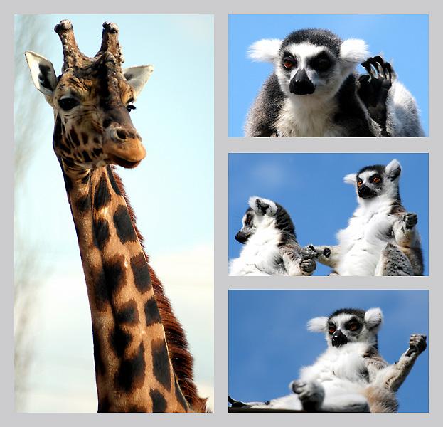 Giraffe is watching you