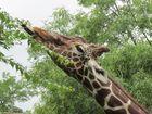 Giraffe Kölner Zoo