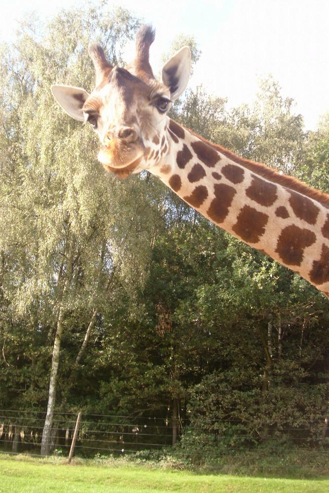 Giraffe muss aufs Bild